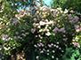 Rosebush in bloom on the premises