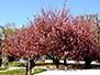 Japanese cherry tree in bloom at Jardin des Plantes